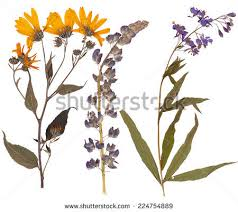 pressed flowers pressed flowers stock images royalty free images vectors