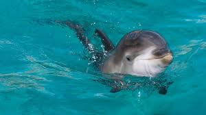 Seeking Dolphin Seeking Tourists Kill Baby Dolphin That Separated From Its