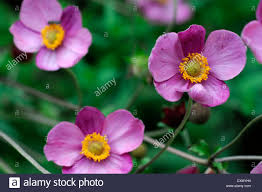 anemone huphensis japanese anemone flower pink purple yellow eye