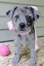 australian shepherd australian cattle dog mix i found glam on australian shepherd mix australian shepherd and