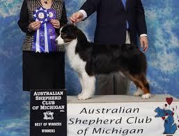 australian shepherd kc recent news