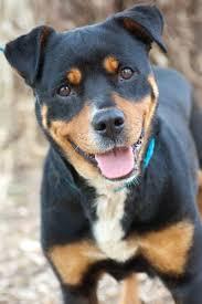 american pitbull terrier puppies louisiana best 25 terrier mix ideas only on pinterest terrier mix breeds
