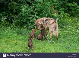 grey wolf and cubs on meadow stock photo 36461102 alamy