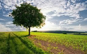 tree in the field hd wallpaper 521640