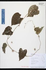 native florida air plants dioscorea bulbifera species page isb atlas of florida plants