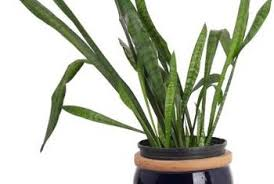 common snake plant problems home guides sf gate