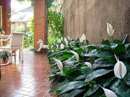 Peace Lily Plant How To Grow Peace Lily Garden Season Growing Guide