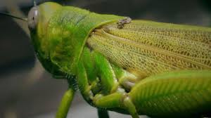 interesting facts about grasshoppers u2014 steemit