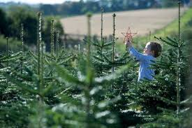 where to buy real christmas trees in swansea wales online