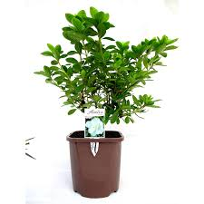 Lollipop Topiary Tree - trees u0026 shrubs available at bunnings warehouse