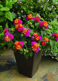 Most Fragrant Plants - 13 best and most fragrant flowers for container garden backyard