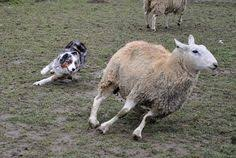 australian shepherd herding monkee the crazy australian shepherd goes to sheep herding class