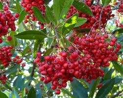 native plants at csu dominguez shop and learn festive natives u2013 toyon south coast botanic
