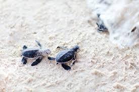imagenes tortugas verdes bebé tortugas verdes moviéndose hacia el océano fotos retratos