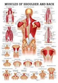 Anatomy And Physiology Human Body Muscles Of The Hand Laminated Anatomy Chart Anatomy Muscles And