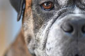 100 boxer dog boxer dog eye swollen risks associated with canine acute