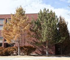conifer concerns rust colored conifer trees shrubs may recover