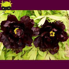 Decorative Plants For Home Compare Prices On Black Peony Flower Online Shopping Buy Low