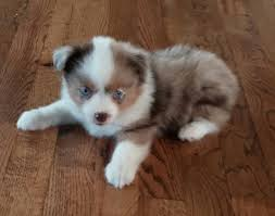 australian shepherd history magical toy aussies