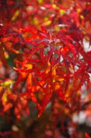 japanese maples under 10 feet u2014 sunnyside nursery