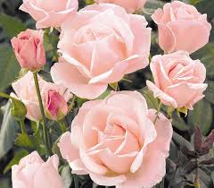 top products for rose gardening amateur gardening
