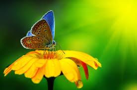 blue butterfly on a yellow flower macro hd wallpaper