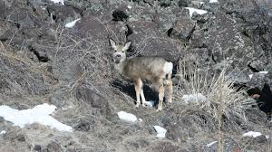 snow on the hoof how deer elk and other western wildlife cope in