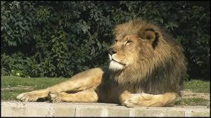 large male african lion panthera leo youtube