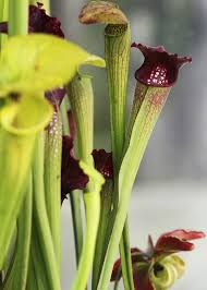 san antonio native plants feasting flora lures prey fans in exhibit san antonio express news