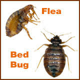 Flea Bites Vs Bed Bug Bites Pictures Fleas Vs Bed Buds Differences Between Fleas And Bed Bugs