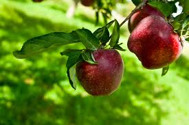 symbolism of a tree the meaning and symbolism of the word apple tree