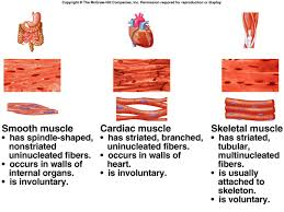 Anatomy And Physiology The Muscular System Three Types Of Muscle Tissue Iilyear4 Anatomy U0026 Physiology