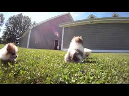 puppies for sale pa teacup pomeranians puppies for sale near erie pa