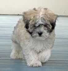 bichon frise shih tzu mix for sale pets available for sale the puppy place 935 riverdale st w