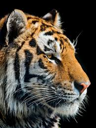 54 best tigers images on pinterest tigers image and animals