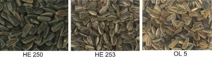 storage stability of three genotypes of sunflower seeds