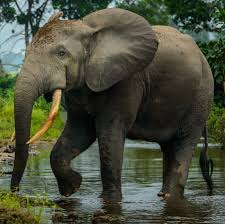 gabon forest elephants numbers collapse by 80 cosmos