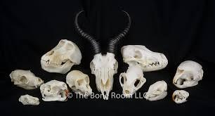 skulls for sale the bone room