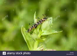 mating orange and black crane flies gynoplistia sp stock photo