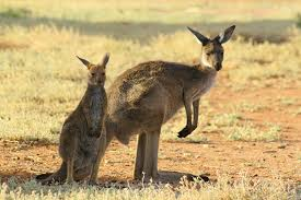 kangaroos are not low gas producers journal of experimental biology