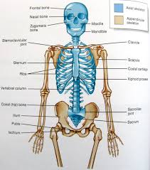 Apologia Human Anatomy And Physiology Axial Skeleton Anatomy And Physiology Pinterest Axial