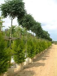 fraxinus ornus meczek designer flowering ash blerick trees buy