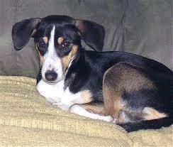 beagle x australian shepherd beagle fox terrier mix photo happy dog heaven