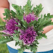 crane feather f1 ornamental kale seed johnny s