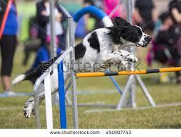 australian shepherd jumping fence australian shepherd agility test gateway obstacle stock photo