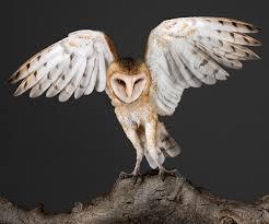 Barn Owl Photography Garbo Barn Owl 2