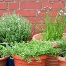 Fragrant Plants For Pots - top 10 deer resistant plants for your garden my garden life