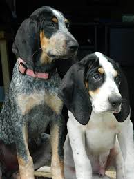 bluetick coonhound name origin the 120 best images about coonhound on pinterest coon hunting