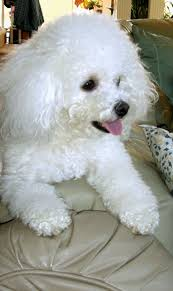bichon frise virginia 194 best bishion frise images on pinterest bichons puppies and