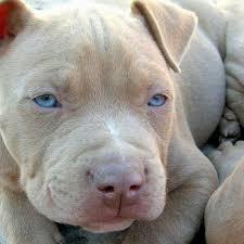 american pitbull terrier info best 10 pitbull american ideas on pinterest pitbull mezcla de